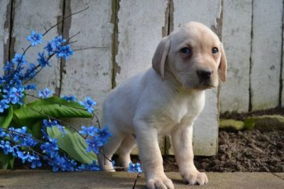 Ruger Male Labrador Retriever