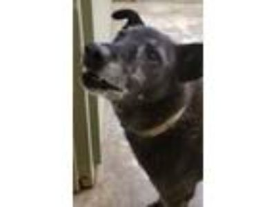 Adopt Nikki a Australian Cattle Dog / Blue Heeler