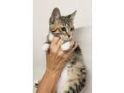 Adopt Mazzy a Domestic Short Hair
