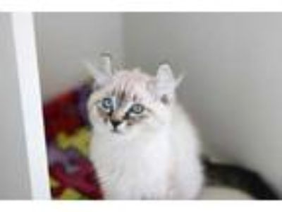 Adopt Yang a Cream or Ivory American Curl / Domestic Shorthair / Mixed cat in