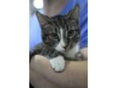 Adopt Sylvester and Marce a Tabby