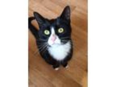 Adopt Lucy a Black & White or Tuxedo Domestic Shorthair (short coat) cat in