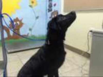 Adopt SHADOW a Black Australian Shepherd / Labrador Retriever / Mixed dog in