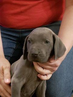 Weimaraner PUPPY FOR SALE ADN-113959 - Blue Weimaraner Male Puppy