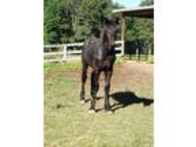 Reduced Storms Legacy Percheron Stallion