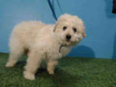 Adopt SHYLA a Tan/Yellow/Fawn Golden Retriever / Poodle (Standard) / Mixed dog