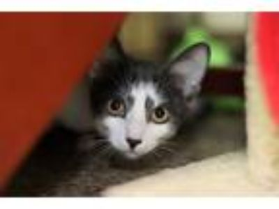 Adopt Barney a Gray or Blue (Mostly) Domestic Shorthair (short coat) cat in