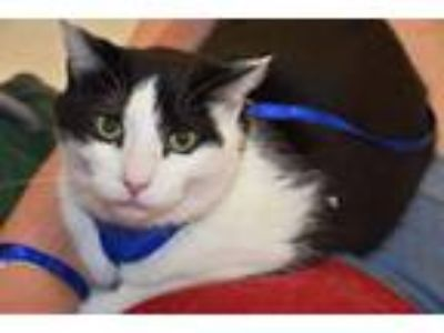 Adopt Toddle a American Shorthair