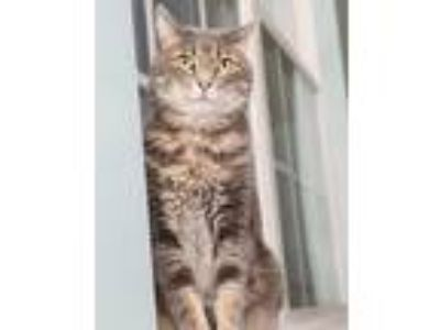 Adopt Kenny a Gray, Blue or Silver Tabby Domestic Shorthair (short coat) cat in