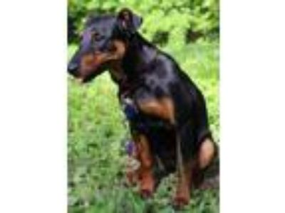 Adopt Trinka a Doberman Pinscher, Mixed Breed