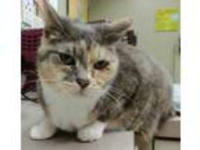 Adopt Foley a Gray or Blue Domestic Shorthair / Domestic Shorthair / Mixed cat