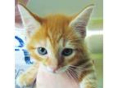 Adopt Joji a Orange or Red (Mostly) Domestic Shorthair / Mixed (short coat) cat