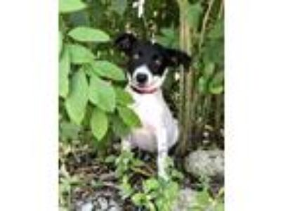 Adopt Harper a Australian Cattle Dog / Blue Heeler, Pointer
