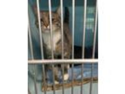 Adopt Tom Colley a Domestic Short Hair
