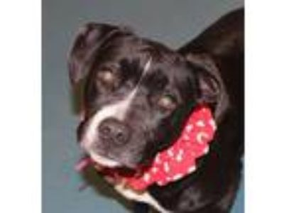 Adopt Tuxxie a Black - with White Pit Bull Terrier / Mixed dog in Memphis