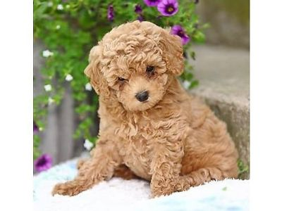 POODLE PUPPIES! WORMED, U.T.D. ON SHOTS W/HEALTH ...