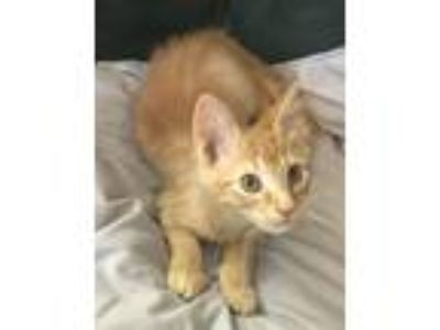 Adopt Woody a Maine Coon, Domestic Long Hair