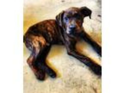 Adopt Gibson a Brindle Retriever (Unknown Type) / Catahoula Leopard Dog / Mixed