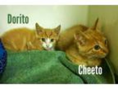 Adopt Dorito a Orange or Red Tabby American Shorthair (short coat) cat in