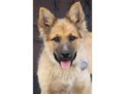 Adopt Penny von Flagg a Tan/Yellow/Fawn German Shepherd Dog / Mixed dog in Los