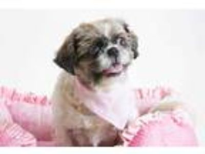 Adopt *ROSA a Brown/Chocolate - with White Shih Tzu / Mixed dog in Sacramento