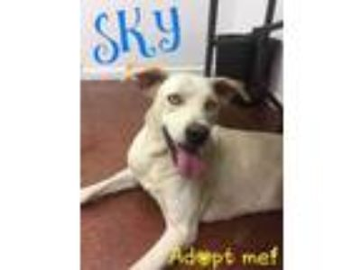 Adopt Sky a White Labrador Retriever / Husky / Mixed dog in Shelbyville
