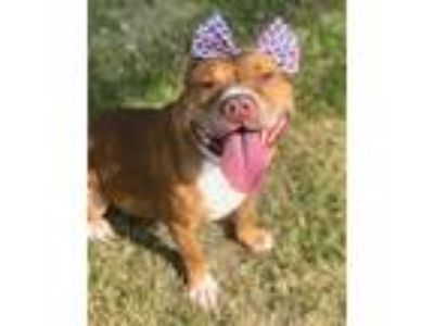 Adopt STRAWBERRY a Tan/Yellow/Fawn - with White American Pit Bull Terrier /
