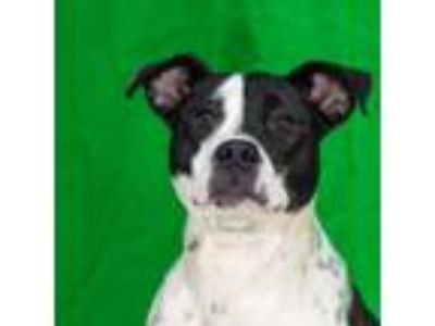 Adopt Willow a Black American Pit Bull Terrier / Mixed dog in Spartanburg