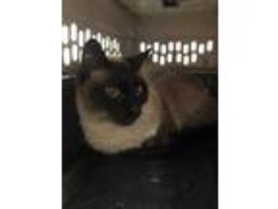 Adopt Si a All Black Domestic Shorthair / Domestic Shorthair / Mixed cat in