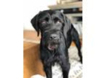 Adopt Dee a German Wirehaired Pointer