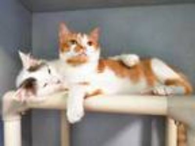 Adopt Tyrion Lannister a Orange or Red Domestic Shorthair / Domestic Shorthair /