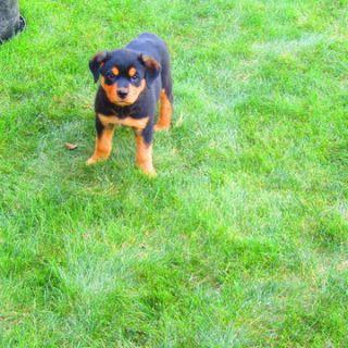 Rottweiler PUPPY FOR SALE ADN-92318 - Rottweiler Puppy