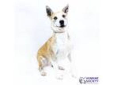 Adopt Phoebe a Tan/Yellow/Fawn - with White Shepherd (Unknown Type) / Mixed dog