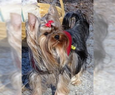 Yorkshire Terrier PUPPY FOR SALE ADN-122184 - Torry