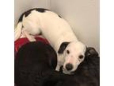 Adopt 19-152 Snoopy a Dachshund / Terrier (Unknown Type, Small) / Mixed dog in