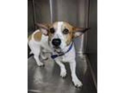 Adopt Chesney a White Corgi / Mixed dog in Fort Worth, TX (25861823)