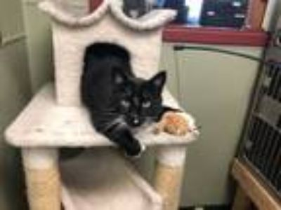 Adopt Moose a Domestic Short Hair