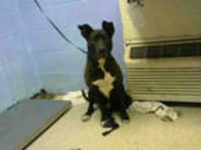 Adopt CHUCK a Black - with White American Pit Bull Terrier / Mixed dog in