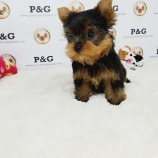 Yorkshire Terrier PUPPY FOR SALE ADN-99747 - YORKSHIRE TERRIER TIM MALE