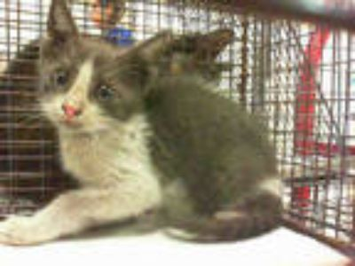 Adopt ERNIE a Gray or Blue (Mostly) Domestic Shorthair / Mixed (short coat) cat