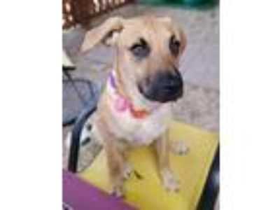 Adopt Dornroeschen a Tan/Yellow/Fawn Boxer / Mixed dog in Phenix City
