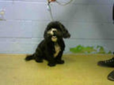 Adopt GRIFFIN a Black - with White Shih Tzu / Mixed dog in Moreno Valley