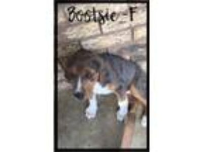 Adopt Bootsie a Beagle / Mixed dog in Effort, PA (25888749)