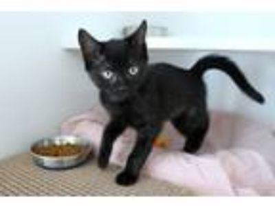 Adopt Peach a All Black Domestic Shorthair / Mixed cat in East Brunswick