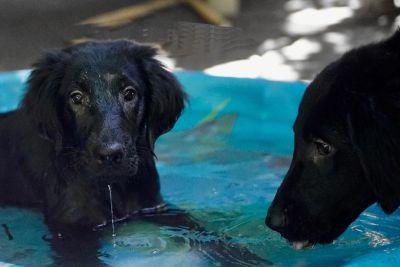 Cahaba Flat-Coated Retriever Puppies