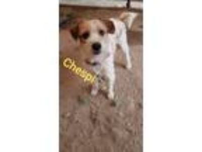 Adopt Chespi a Red/Golden/Orange/Chestnut - with White Jack Russell Terrier /