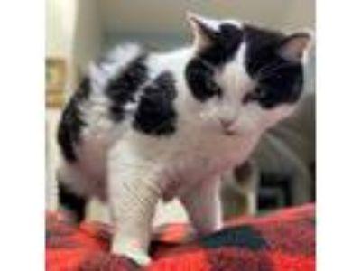 Adopt Pretty Girl a Black & White or Tuxedo Domestic Shorthair (short coat) cat
