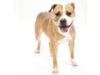Adopt Paige a Pit Bull Terrier
