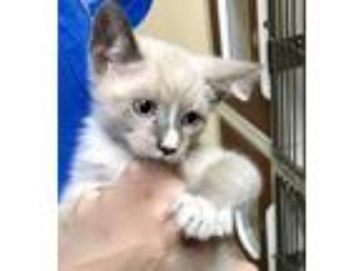 Adopt Mikey a Cream or Ivory (Mostly) Snowshoe (short coat) cat in Putnam Hall