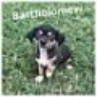 Bartholomew Dachshund Dog